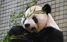 Images_147911_thumb_tuan-tuan-panda-mundo-recibir
