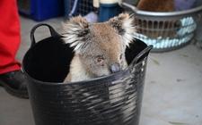 Images_173359_thumb_los-koalas-reposan-en-pequenas_0_1_958_596